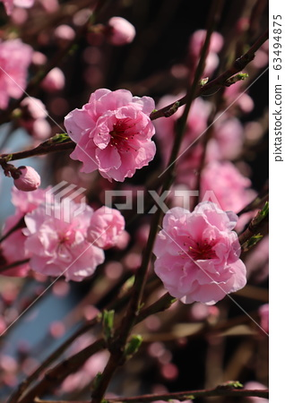 cherry blossom, cherry tree, sakura 63494875