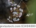 cherry blossom, cherry tree, sakura 63494880