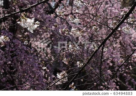 cherry blossom, cherry tree, sakura 63494883