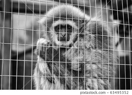 Sad monkey caged 63495352