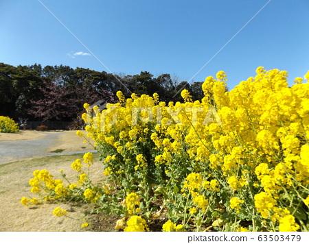 在2月變成盛開的早起的navana的黃色的花 63503479