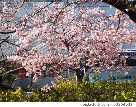 Inage Kaigan站前的Kawazu樱花粉红色花朵盛开 63504032