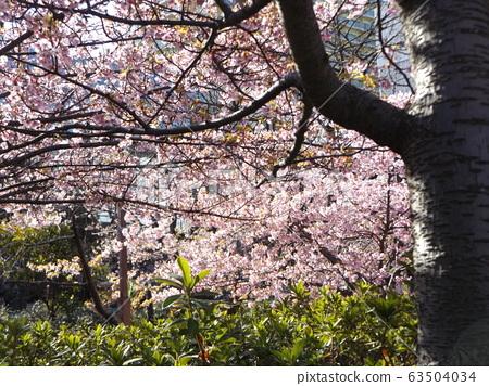 Inage Kaigan站前的Kawazu櫻花粉紅色花朵盛開 63504034