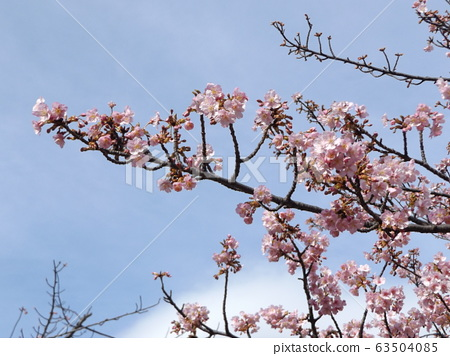 Kawazu cherry blossoms in front of Inage Kaigan Station 63504085