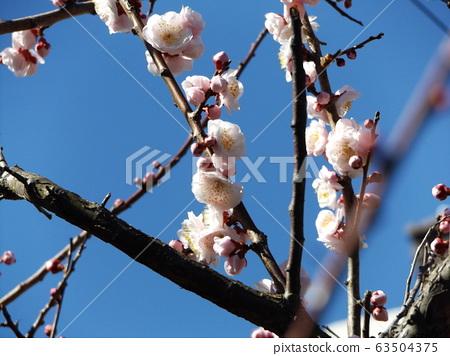 我家的梅花正在盛開。 63504375
