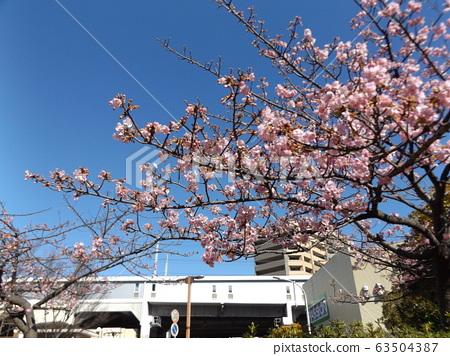 Inage Kaigan站前的Kawazu櫻花粉紅色花朵 63504387