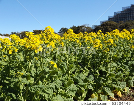 在2月變成盛開的早起的navana的黃色的花 63504449