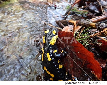 fire salamander 63504835