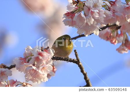Cherry blossoms in full bloom and white-eye sucking honey 63509148