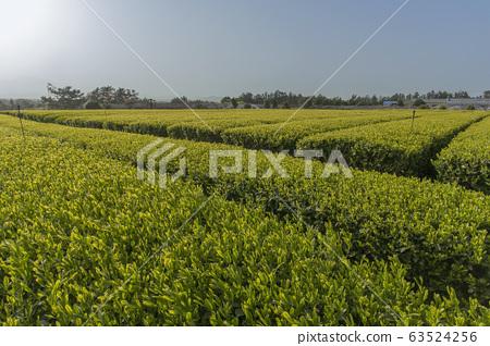 맑은 하늘과 녹색 가득한 녹차밭 63524256
