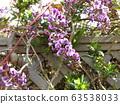 這種紫色的花藤植物是哈登貝爾吉亞 63538033