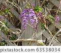 這種紫色的花藤植物是哈登貝爾吉亞 63538034