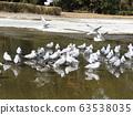 冬季遷徙的黑鷗來到Inage Kaihin公園 63538035