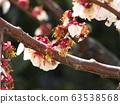 李子,白花已過高峰,開始結紅色果實 63538568