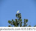 黑松頂端的蒼鷺休息翅膀 63538573