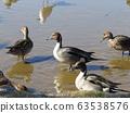 冬季候鳥來到稻垣濱公園和Uricamome 63538576