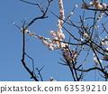 美麗的白花是梅花 63539210