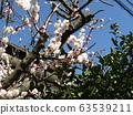 美麗的白花是梅花 63539211