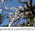 美麗的白花是梅花 63539212