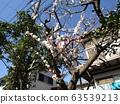 美麗的白花是梅花 63539213