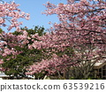Inage Kaigan站前的Kawazu櫻花盛開 63539216