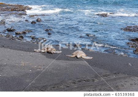 在普那魯(Punaluu)黑色沙灘上曬日光浴的海龜♪ 63539368