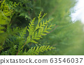 closeup of cypress tree branch in the hedge  63546037