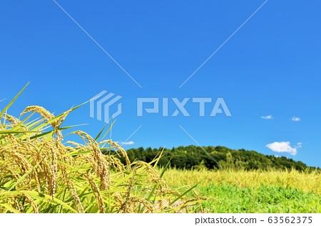 藍藍的天空中的稻田 63562375