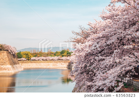 Cherry blossoms of spring at Osaka castle in Japan 63563823