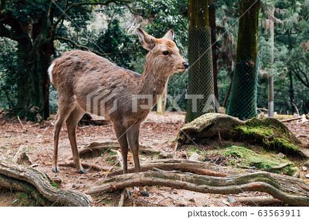 Deer with green forest in Nara deer park, Japan 63563911