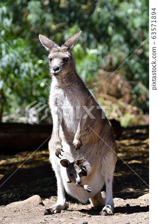 43488孩子在母親袋鼠塔斯馬尼亞島澳大利亞的肚子裡 63571894