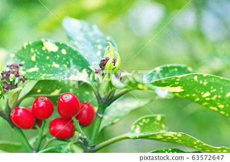 붉은 아오키 열매 63572647