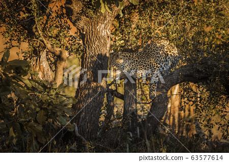 Leopard in Kruger National park, South Africa 63577614