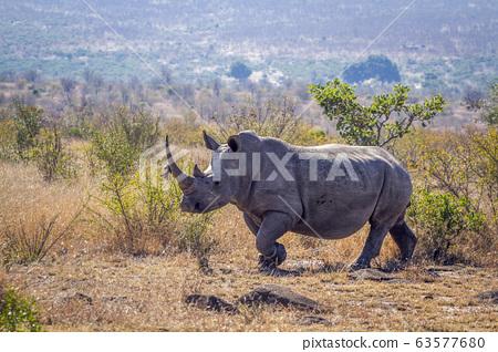 Southern white rhinoceros in Kruger National park, 63577680
