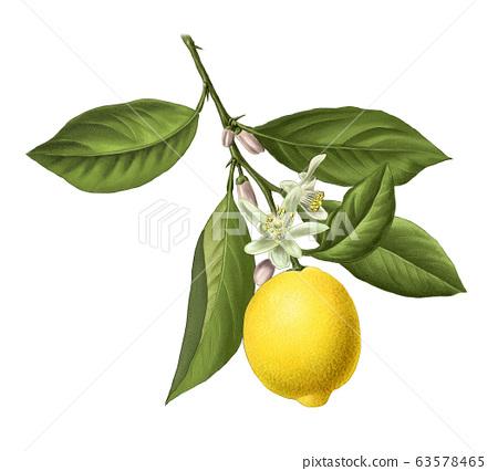 檸檬小型化 63578465