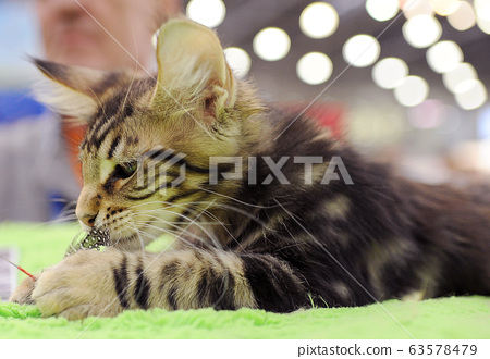 Cute cat at an international exhibition 63578479