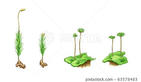 細化苔蘚的類型 63578483