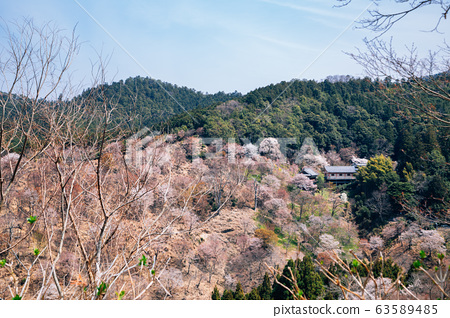 Yoshino mountain pink cherry blossoms in Nara, Japan 63589485