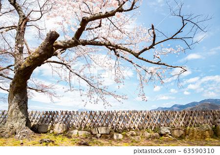 Hikone castle spring cherry blossoms in Shiga, Japan 63590310
