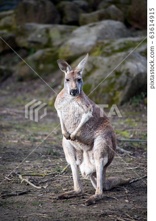 Portrait of kangaroo standing in a meadow 63614915