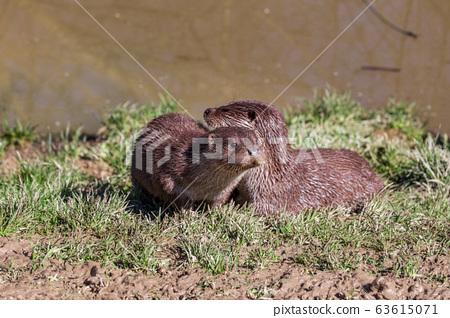 European Otter, Lutra Lutra, near a river.  63615071