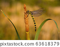 Golden ringed dragonfly resting on bulrush with copy space 63618379