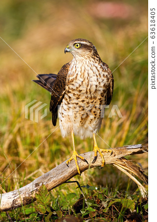 Adult eurasian sparrowhawk female holding tail up in sunlight 63618405