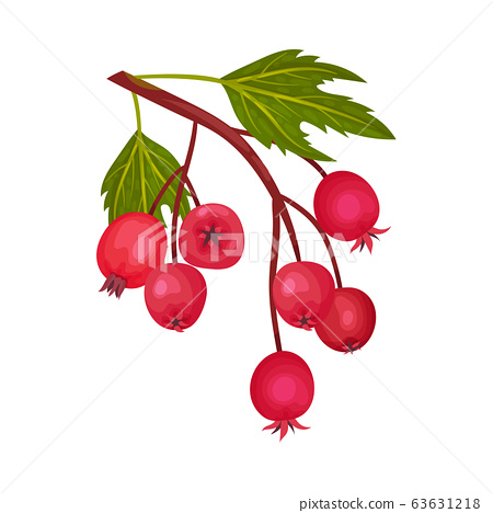 Cluster of Red Round Hawthorn Berries Hanging on Tree Branch Vector Illustration 63631218
