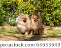 Two Pomeranian spitzs puppies, a small dog with an open mouth is yawning on the grass. Best friends. 63633649