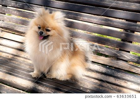 Adorable pomeranian spitz dog sitting on a bench outdoors. Faithful friend 63633651
