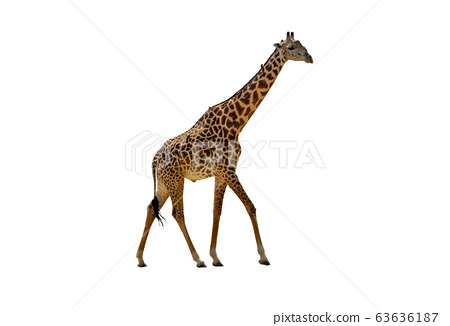 Profile view of giraffe walking over white 63636187