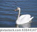 Close up white mute swan, Cygnus olor, swimming on lake blue water suface in sunlight. Selective focus 63644147
