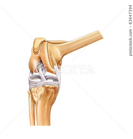Knee anatomy 63647394