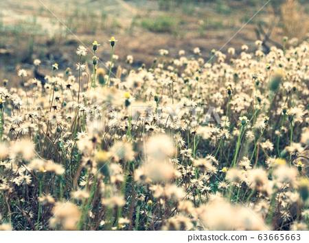 Beautiful grass flowers in a field. 63665663